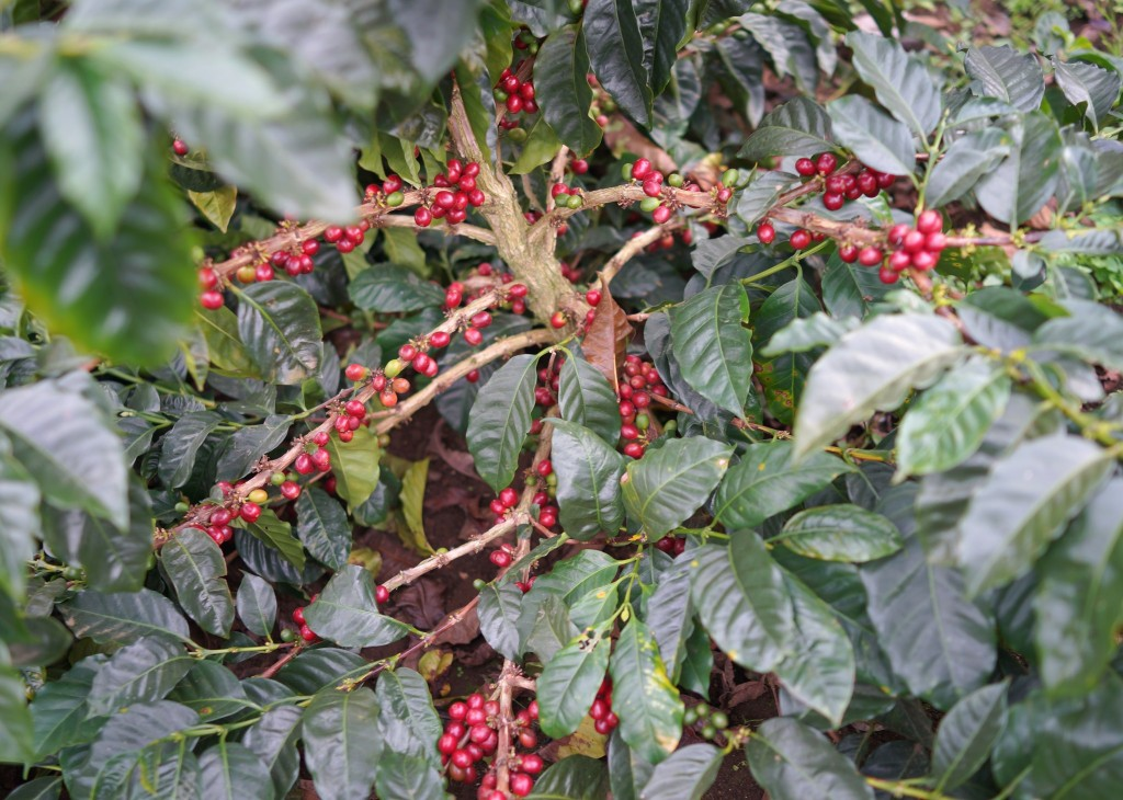magnoliacoffee_honduras2014