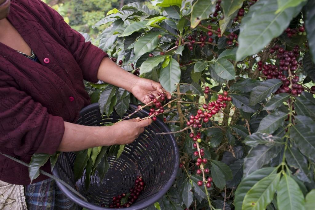 magnioliacoffee_guatemala2014