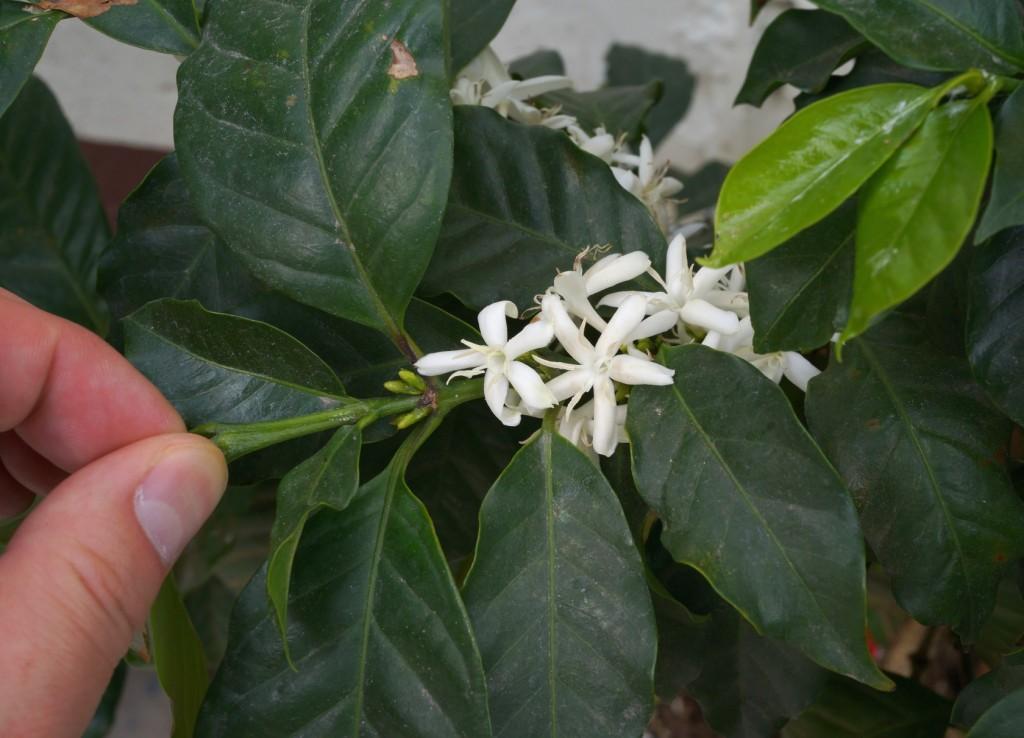 magnoliacoffee_gutemala2014